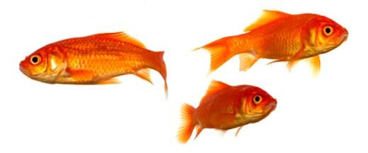 gullfisker