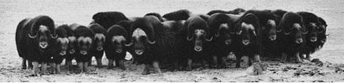 musk ox falanx