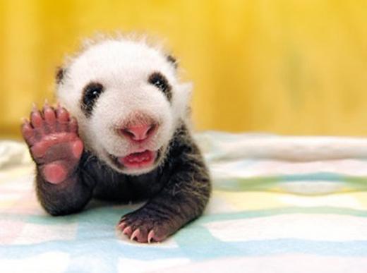pandasierhei